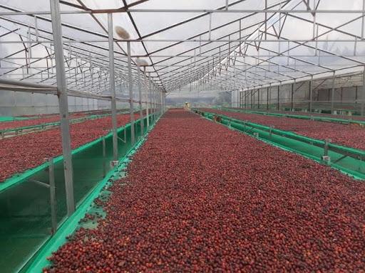 Quá trình sản xuất hạt cà phê Amino Coffee