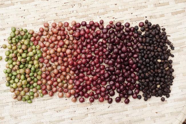Sản xuất hạt cà phê Amino Coffee