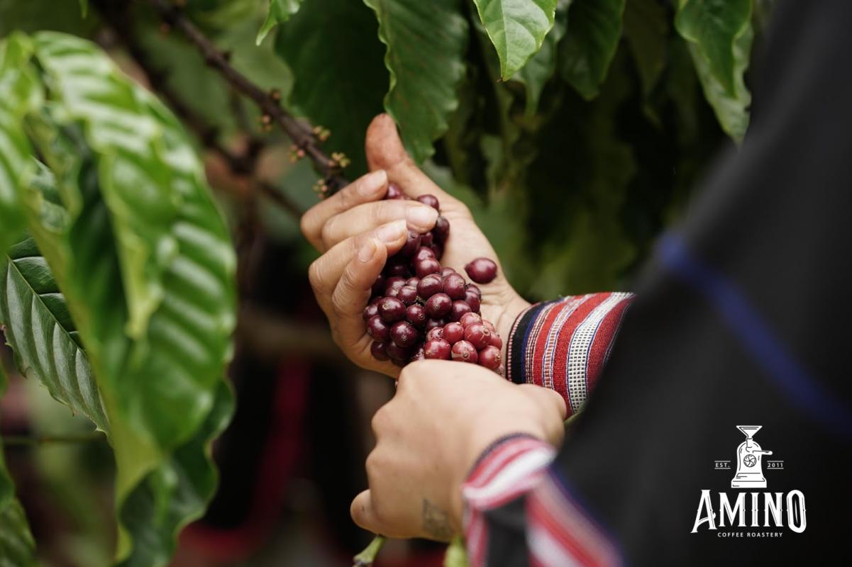 Quá trình hái tuốt cà phê với Amino Coffee