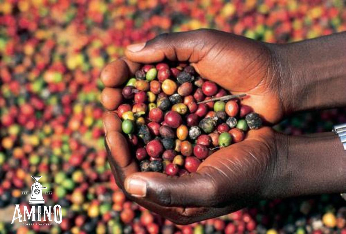 Hình ảnh quả cà phê ở Uganda