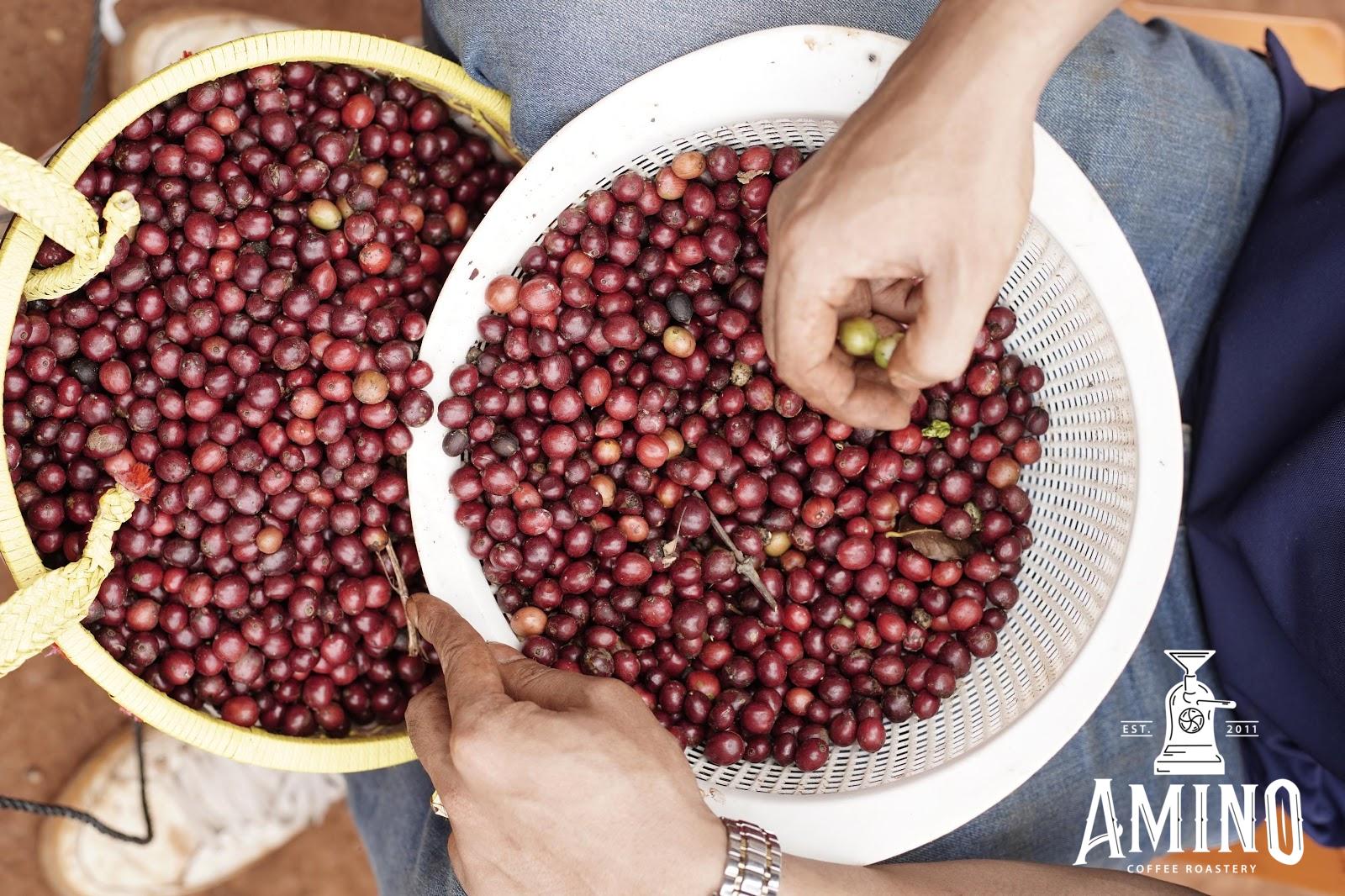 Hình ảnh thu hoạch quả cà phê