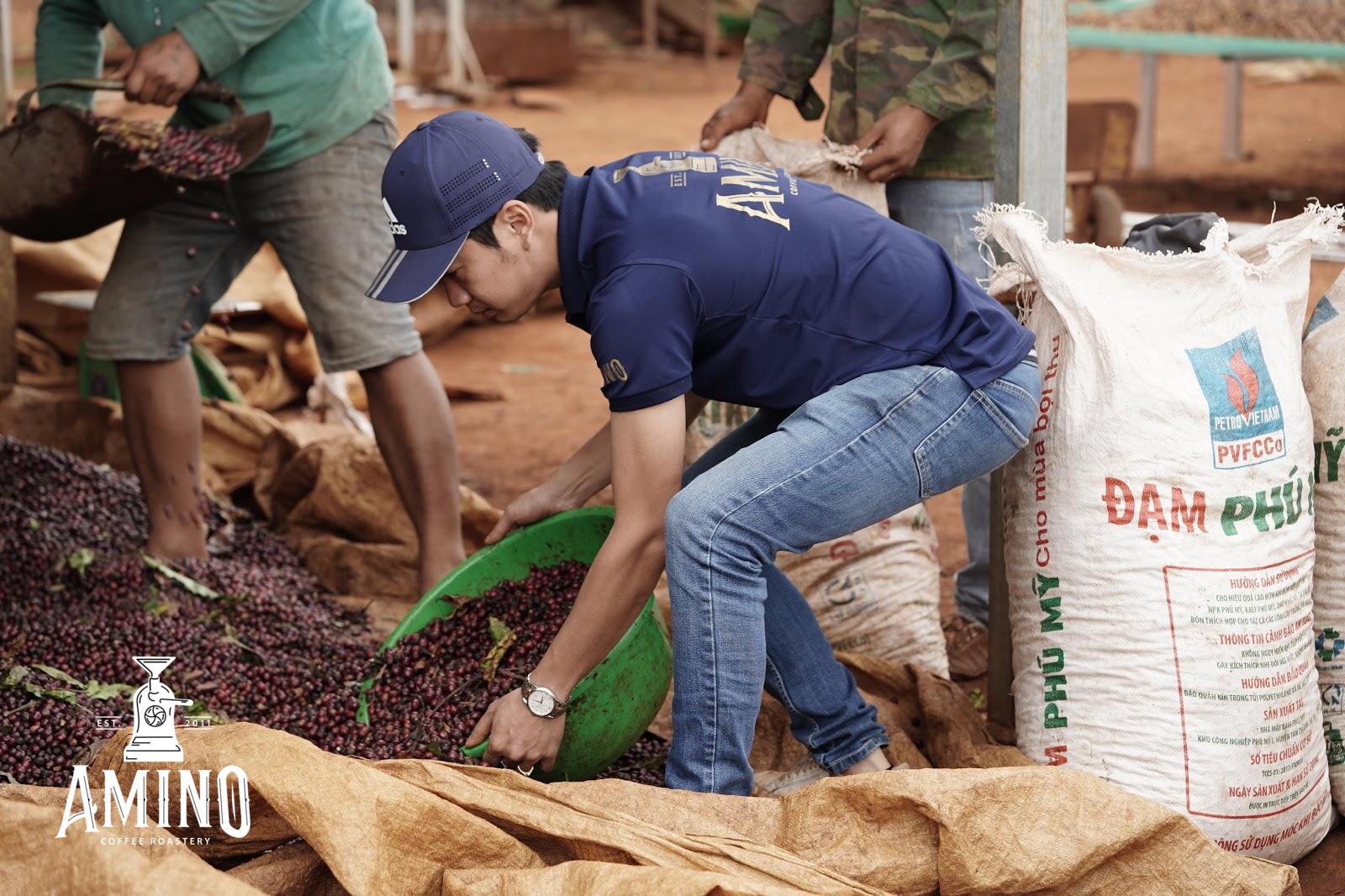 Quá trình thu hoạch cà phê với Amino Coffee