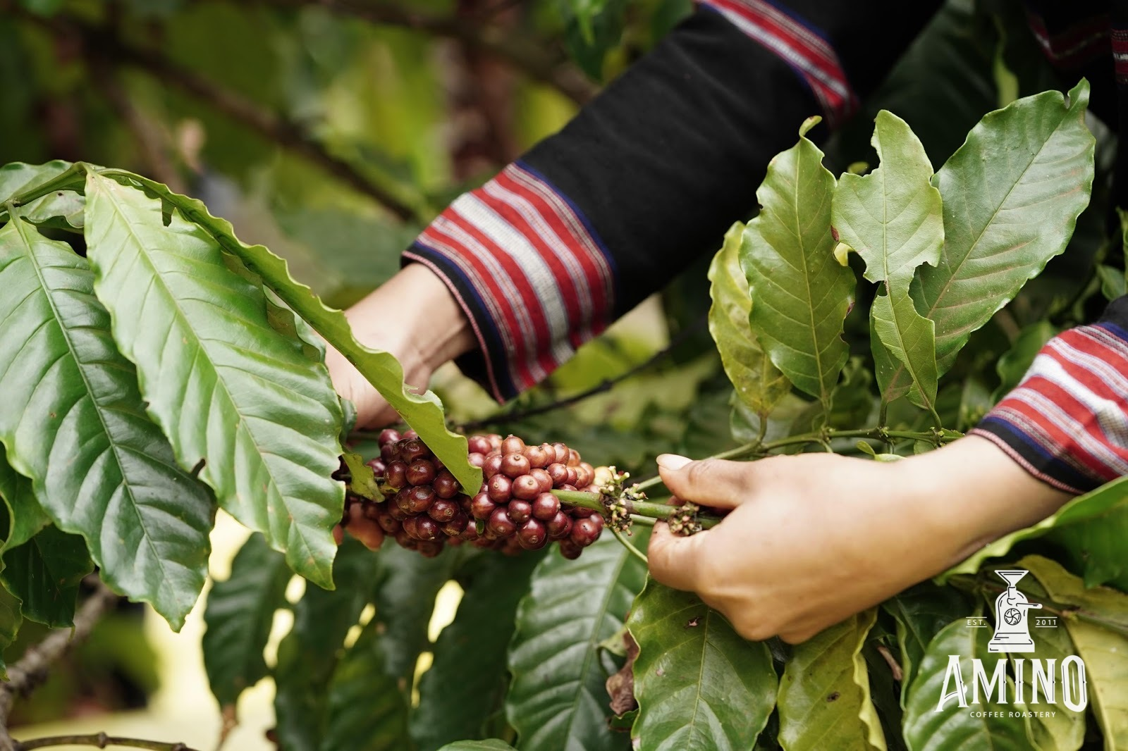 Hình ảnh quá trình thu hái quả cà phê