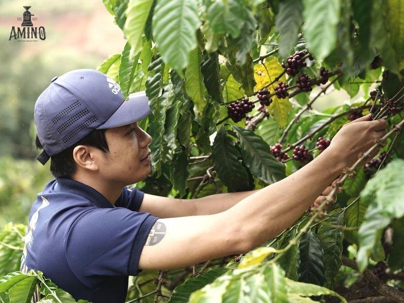 Amino luôn đồng hành cùng nông trại chăm sóc cà phê