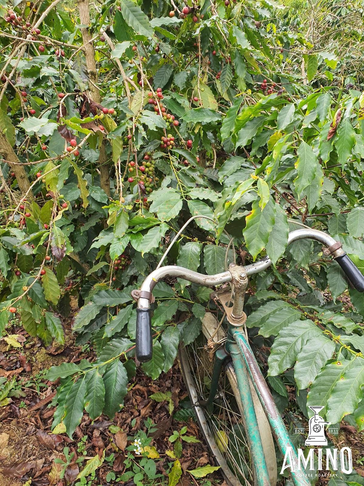 Quảng Trị, Nghệ An – nổi tiếng với cà phê Arabica giống Catimor